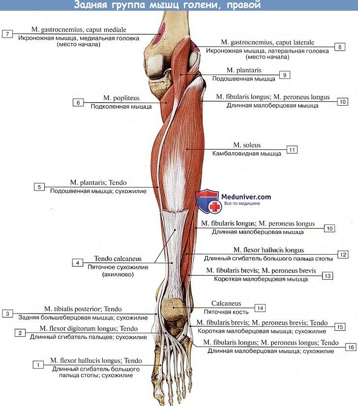 a bokaízület és a borjú izmainak fájdalma artróziskezelési injekciók