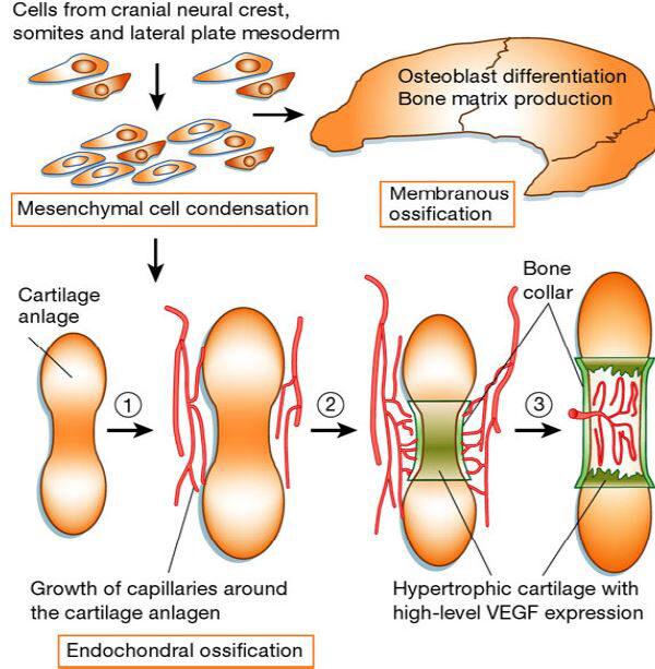 porc regeneráció stimulálása csukló ízületi kezelés