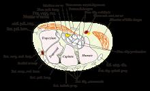 Scoliosis functionalis, primer